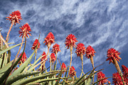 Aloe Framed Prints - Aloes South Africa Framed Print by Neil Overy