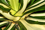 Cultivation Digital Art Prints - Aloevera Print by KH Lee