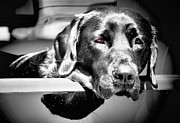 Black Lab Photos - Along for the Ride by Karen M Scovill