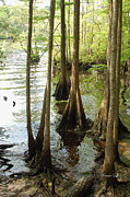 Knees Framed Prints - Along the Waccamaw - Cypress Swamp Framed Print by Suzanne Gaff