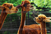 Alpaca Framed Prints - Alpaca Family Framed Print by Scott Hovind