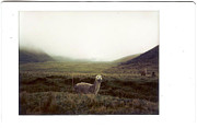Transfer Print Prints - Alpaca Print by photography by Pamela Abad
