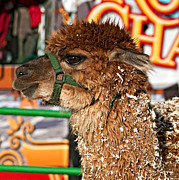 Llama Art - Alpaca by Steve Harrington