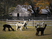 Alpacas Framed Prints - Alpacas in Vermont Framed Print by Nancy Griswold