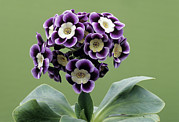 Primula Auricula Photos - Alpine Auricula elizabeth Anne Flowers by Archie Young