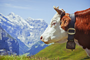Swiss Horn Metal Prints - Alpine Cow Metal Print by Greg Stechishin