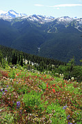 Wild Summer Flowers Prints - Alpine flowers on Blackcomb mountain Print by Pierre Leclerc