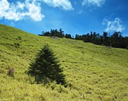 Fir Trees Prints - Alpine Meadow and Fir Trees Print by Yali Shi