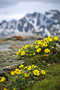 Alberta Rocky Mountains Prints - Alpine meadow  Print by Elena Elisseeva