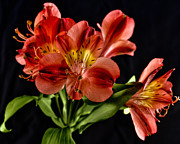 2009 Originals - Alstroemeria de Peru by Michael Putnam