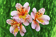Peruvian Lily Prints - Alstroemeria princess Alice Print by Archie Young