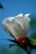 Althea Flower Print by David Weeks