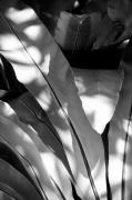 Nature Study Photo Prints - Aman Series Leaves BW 2 Print by Ken Hayden