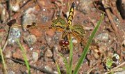 White Pennant Prints - Amandas Pennant Dragonfly Female Print by Donna Brown