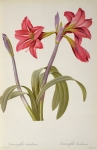 Red Drawings Prints - Amaryllis Brasiliensis Print by Pierre Redoute