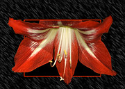 Out Of Bounds Acrylic Prints - Amaryllis Acrylic Print by Carolyn Marshall