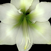 Soft Color Print Prints - Amaryllis Print by Christopher Gruver