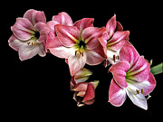 Flower Works Prints - Amaryllis Cluster. Print by Chris  Kusik