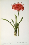 Coloured Posters - Amaryllis Curvifolia Poster by Pierre Redoute