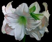 Doug Strickland Paintings - Amaryllis by Doug Strickland