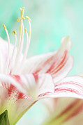 Amaryllis Photos - Amaryllis Flower by Dhmig Photography
