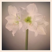 Stamen Photos - Amaryllis Flowers by Nathan Blaney