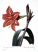 1833 Photo Posters - Amaryllis Poster by Granger
