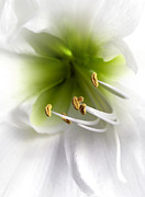 Fragrant Prints - Amaryllis  Print by Jane Rix