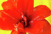 Amaryllis Jaune Red Amaryllis Flower On Bright Yellow Background Print by Andy Smy
