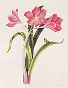 Amaryllis Prints - Amaryllis purpurea Print by Robert Havell