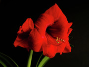 Red Flowers Digital Art - Amaryllis by Valencia Photography