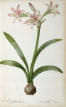 Redoute Paintings - Amaryllis Vittata by Pierre Redoute