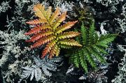 Multi-color Posters - Amaumau Ferns Poster by Greg Vaughn - Printscapes