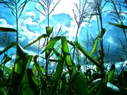 Corn Field Prints - Amaze the Maize Print by Chuck Taylor