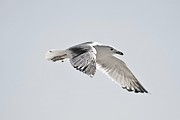 Flying Seagulls Originals - Amazing Seagull Flying by Jeramie Curtice