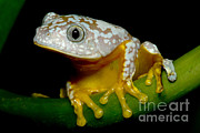 Toe Pad Framed Prints - Amazon Leaf Frog Framed Print by Dante Fenolio