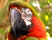 John From CNY - Amazon Macaw