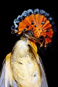 Flycatcher Posters - Amazonian Royal Flycatcher Poster by Dr Morley Read