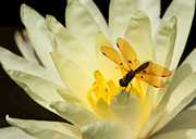 Water Lilies Photo Posters - Amber Dragonfly Dancer Poster by Sabrina L Ryan