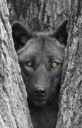 Wolf Photograph Prints - Amber Print by Shari Jardina