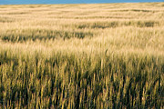 Harvest Art Prints - Amber Waves of Grain Print by Cindy Singleton
