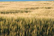 Amber Waves Of Grain Print by Cindy Singleton