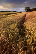 Verticle Posters - Amber Waves of Grain Poster by Debra and Dave Vanderlaan