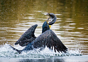 Phalacrocorax Auritus Prints - Ambitious Catch Print by Carl Jackson