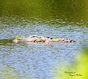 Signed Digital Art Posters - American Alligator  1693 I Poster by Suzanne  McClain