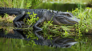 American Alligator Prints - American Alligator in the Wild Print by Dustin K Ryan