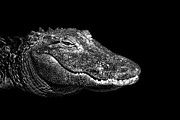 Head Framed Prints - American Alligator Framed Print by Malcolm MacGregor