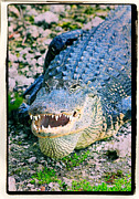 Threatening Prints - American Alligator Print by Rudy Umans