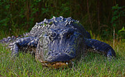 Framedart Prints - American Alligator Print by Scott Helfrich