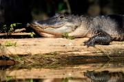 American Alligator Prints - American Alligator suns itself Print by Matt Suess